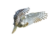 Snowy Owl With Its Wings Outsp...