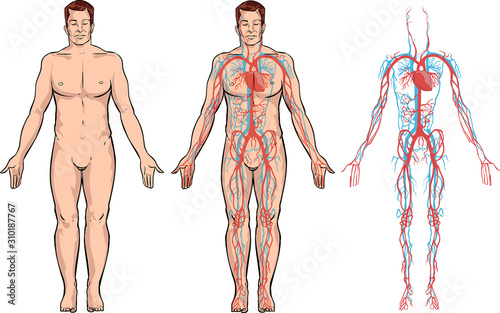 Photo white background Vector illustration of a circulatory system