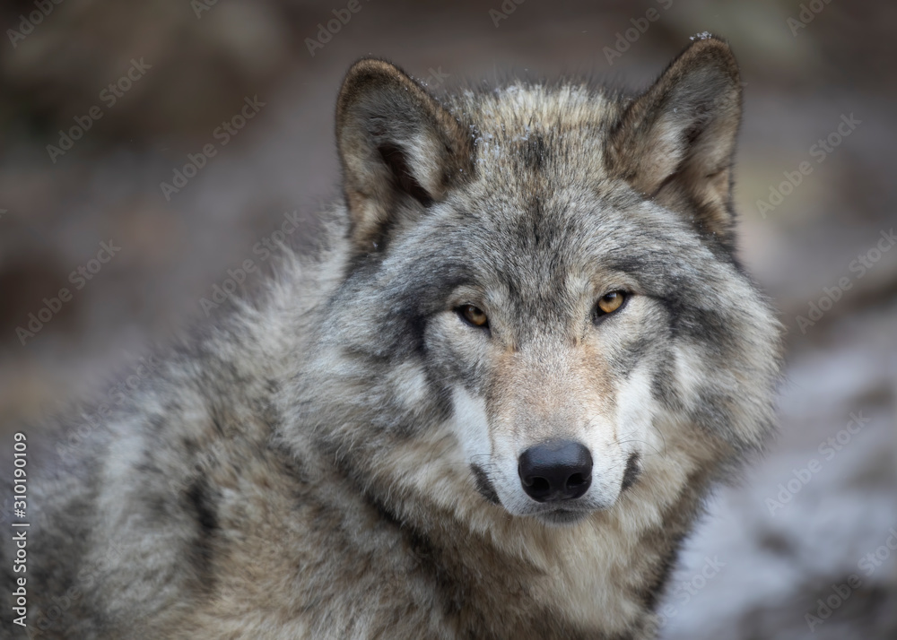 Fototapeta A lone Timber wolf or Grey Wolf Canis lupus portrait in the winter in Canada