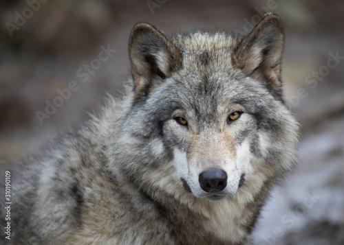 A lone Timber wolf or Grey Wolf Canis lupus portrait in the winter in Canada Fototapeta