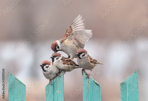 group of small funny birds sparrows sit on a wooden fence on top of each other Canvas Print