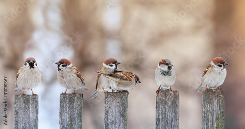 Naklejki ptaki  flock-of-small-funny-birds-sparrows-sit-on-a-wooden-fence-in-a-row-and-have-fun-chatter
