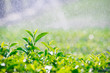 Fresh tea bud and leaves.Tea plantations in the rain, natural backgrounds.soft focus