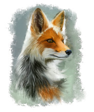 Portrait Of Red Fox. Watercolo...