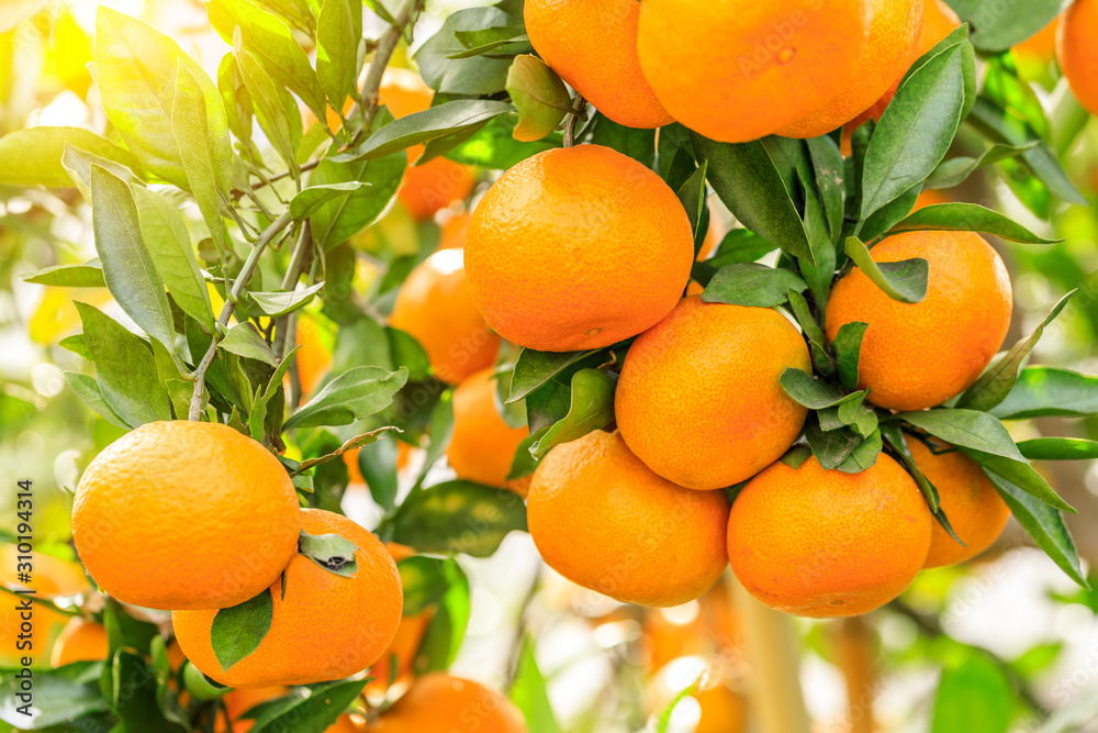 Fototapeta Ripe orange hanging on a tree