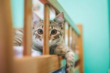 European Shorthair Cat Portrait
