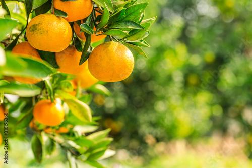 Cuadros en Lienzo Ripe orange hanging on a tree