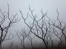Dead Trees In Fog
