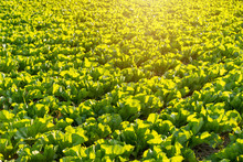 Vegetable Plots Are Full Of Green Vegetables With Warm Light.