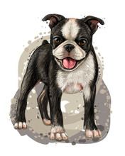 Dog Breed Boston Terrier. Sketch, Drawn, Color Portrait Of A Boston Terrier Puppy On A White Background In Watercolor Style.
