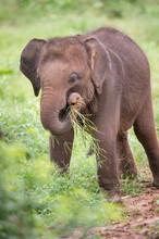 Baby Sri-Lanka-Elefant Spielt ...