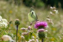 Farfalla Sul Fiore Fuxia