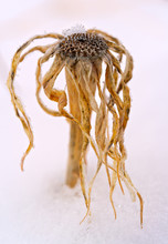 A Bizarre Dried Plant In The ...