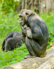 Chimpanzee Sitting On A Log An...