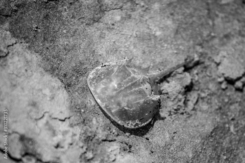 Details of a Horseshoe crab in White Island Mexico Wallpaper Mural