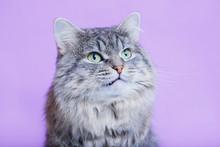 Cat Growls On Purple Backgroun...