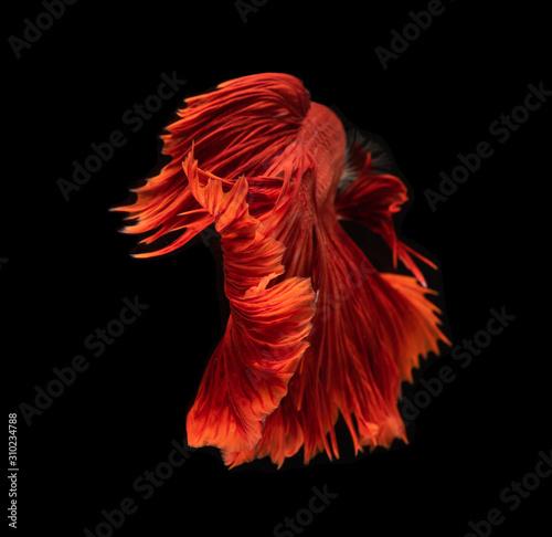 Red betta fish or Siamese fighting fish on dark background. Canvas Print