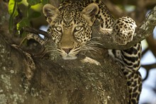 Magnificent African Leopard Resting On The Tree Branch In The Middle Of The Jungle