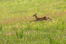 Whitetail Fawn Running Through...
