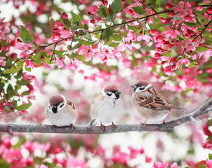 Fototapeta Ptaki three Sparrow birds sitting on a branch of a flowering Apple tree with pink buds in the may Sunny spring garden