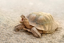 Desert Turtle Traverses The Desert Sands Of Its Natural Environment. Centrochelys Sulcata.