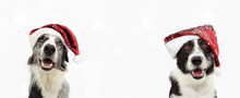 Banner Two Border Collie Dog Celebrating Christmas Wearing A Red Glitter Santa Claus Hat. Isolated On Gray Background.