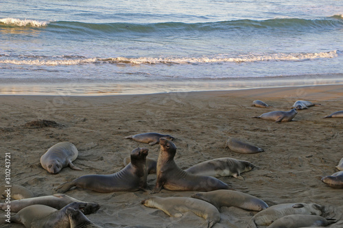 Fotografía Sea lions on the beach of the Pacific USA