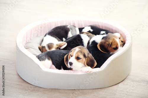 Stampa su Tela Beagle puppy dogs sleeping in soft bed