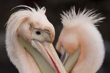 Closeup Shot Of A Pink Pelican...