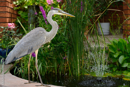 Valokuva  Great Blue Heron invading a decorative fish pond at the front of a house