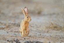 Cute Little Brown Rabbit In Th...
