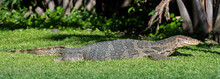 Big Thai Dragon Lizard