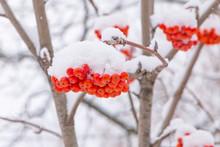 Snowy Branches Of Rowan Tree W...