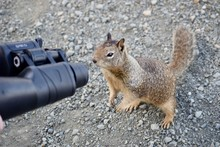 Fox Squirrel Looking Through T...