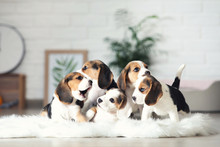 Beagle Puppy Dogs Standing On White Carpet At Home