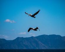Two Pelicans In Flight Fishing.