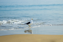 Young Seagull At The Beach On A Sunny Day At Canasvieiras Beach In Florianópolis. Santa Catarina. Brazil