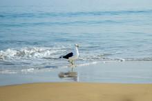 Young Seagull At The Beach On A Sunny Day At Canasvieiras Beach In Florianópolis. Santa Catarina. Brazil
