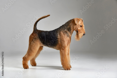Cute airedale terrier. Purebred dog. Studio shot. Gray background Canvas Print