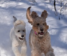 Goldendoodles In The Snow