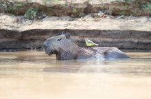 Capybara In Water With A Yello...
