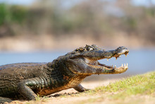 Yacare Caiman With Open Mouth ...