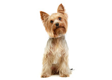 Studio Shot Of An Adorable Yorkshire Terrier