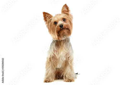 Studio shot of an adorable Yorkshire Terrier Poster Mural XXL