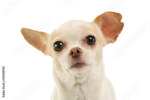 Portrait of an adorable chihuahua Canvas Print