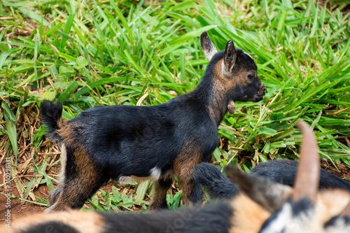 goats grazing on Dourados farm, Mato Grosso do Sul Canvas Print