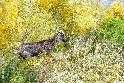 Breeding goats in a farm.