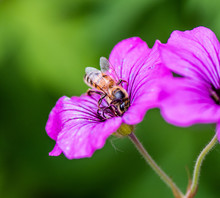 Macrophotography Of A Purple Flower With A Striped Bee Sucking Honey