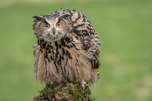 Eagle Owl Perched On A Post An...