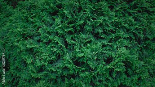Fototapeta Fir tree wall pattern obraz
